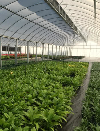 commercial roof-vented greenhouse